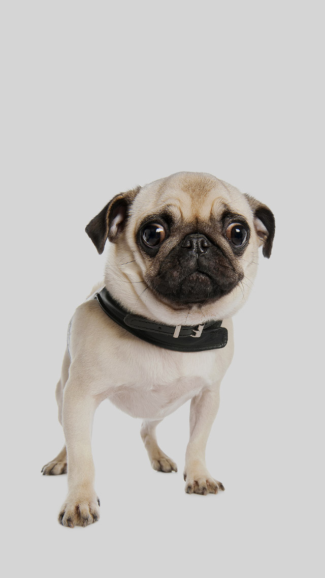 Pug Iphone Wallpaper