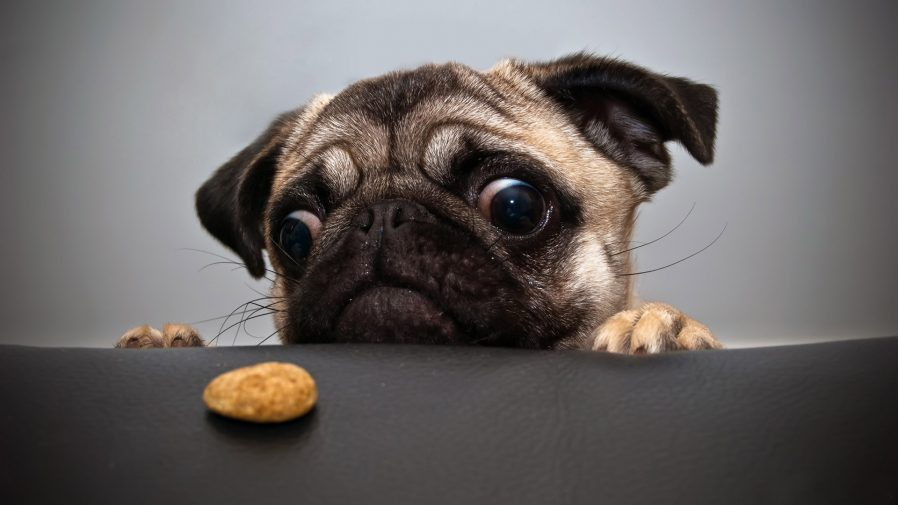 download pug licking screen live wallpaper gallery