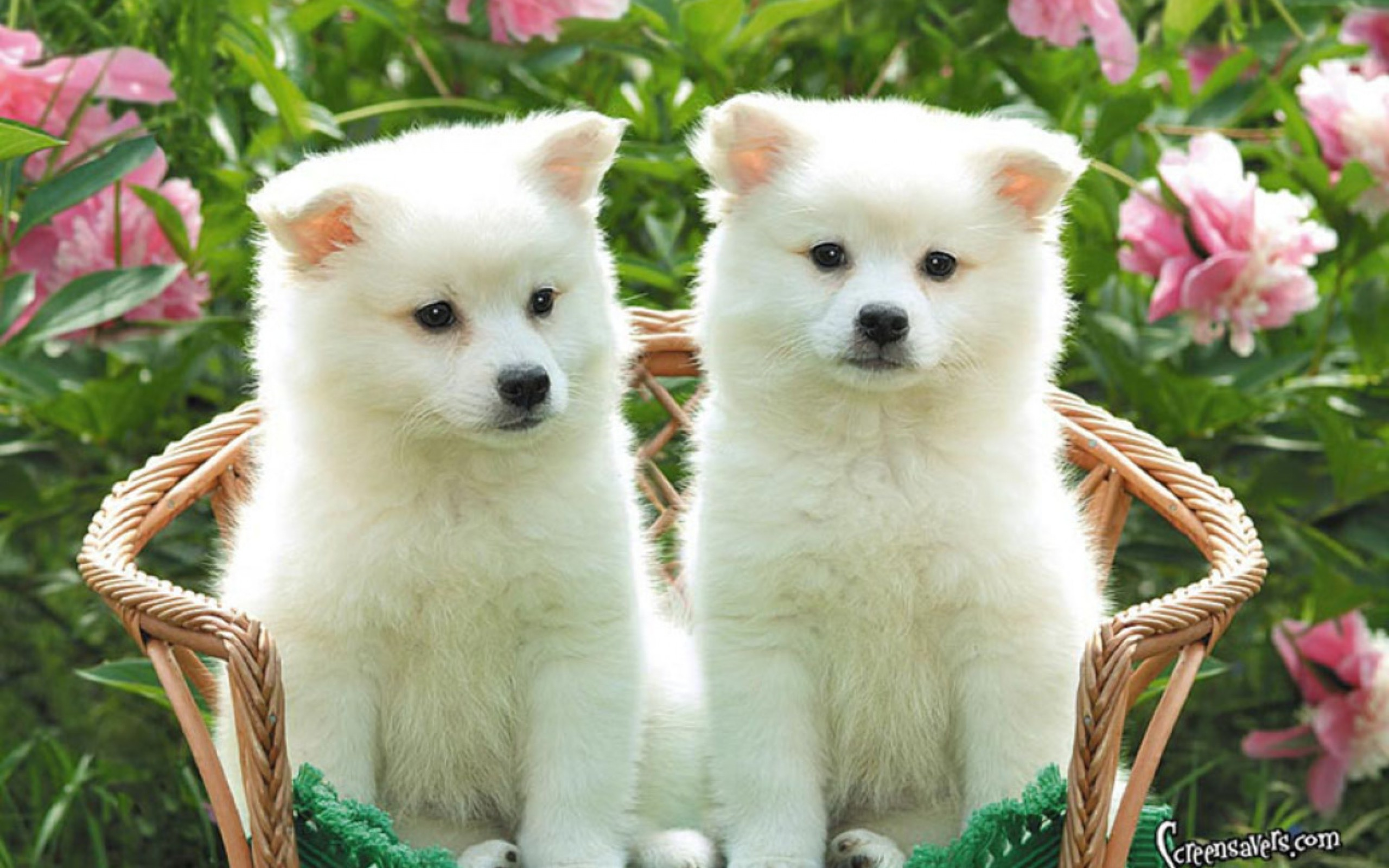 Puppies For Wallpapers