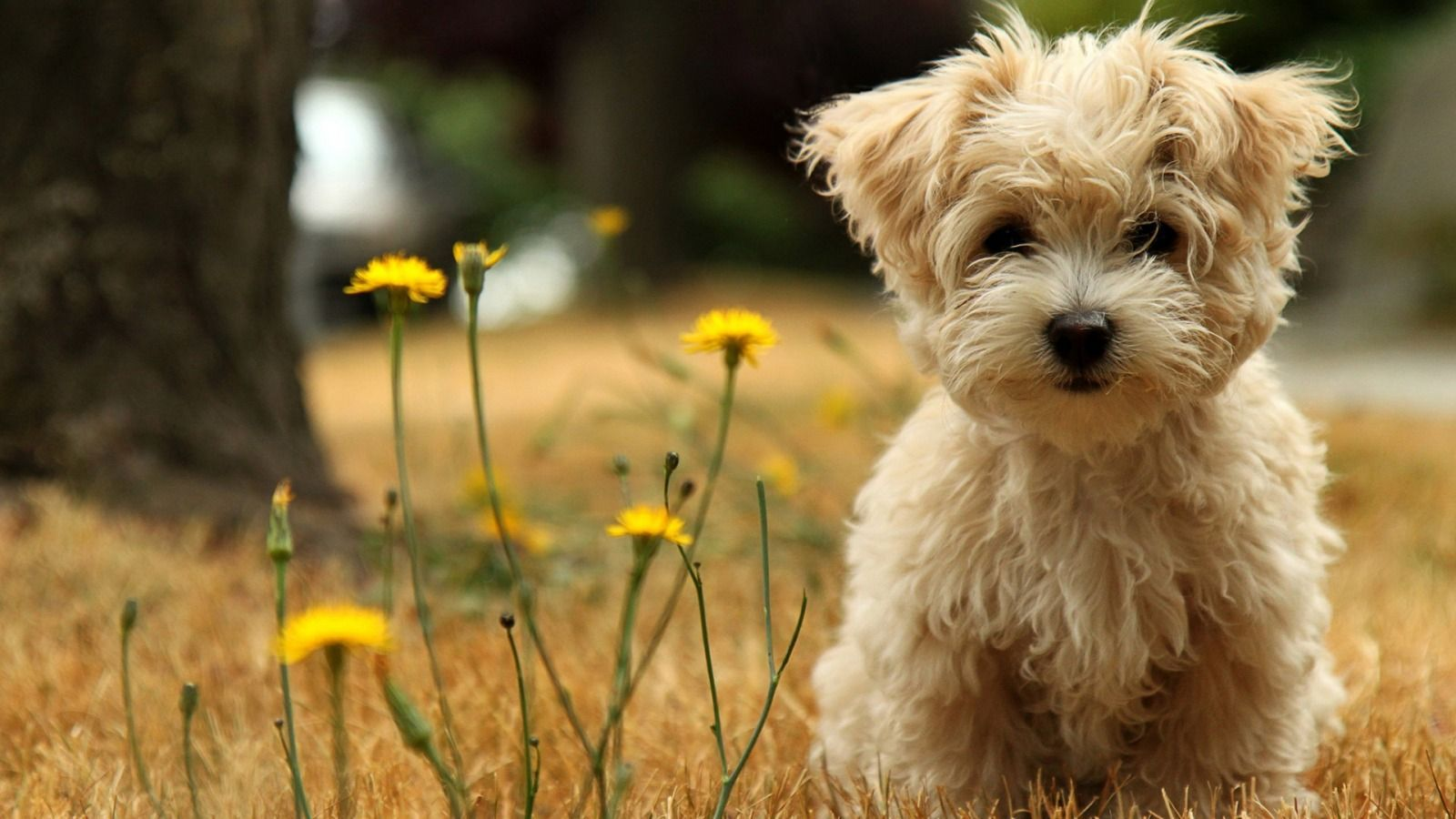 Puppy HD Wallpaper