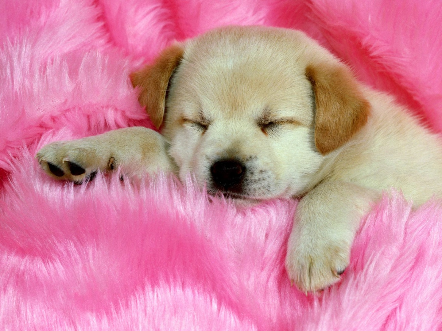 Puppy Pictures Wallpaper