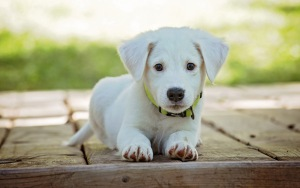 Puppy Wallpapers HD