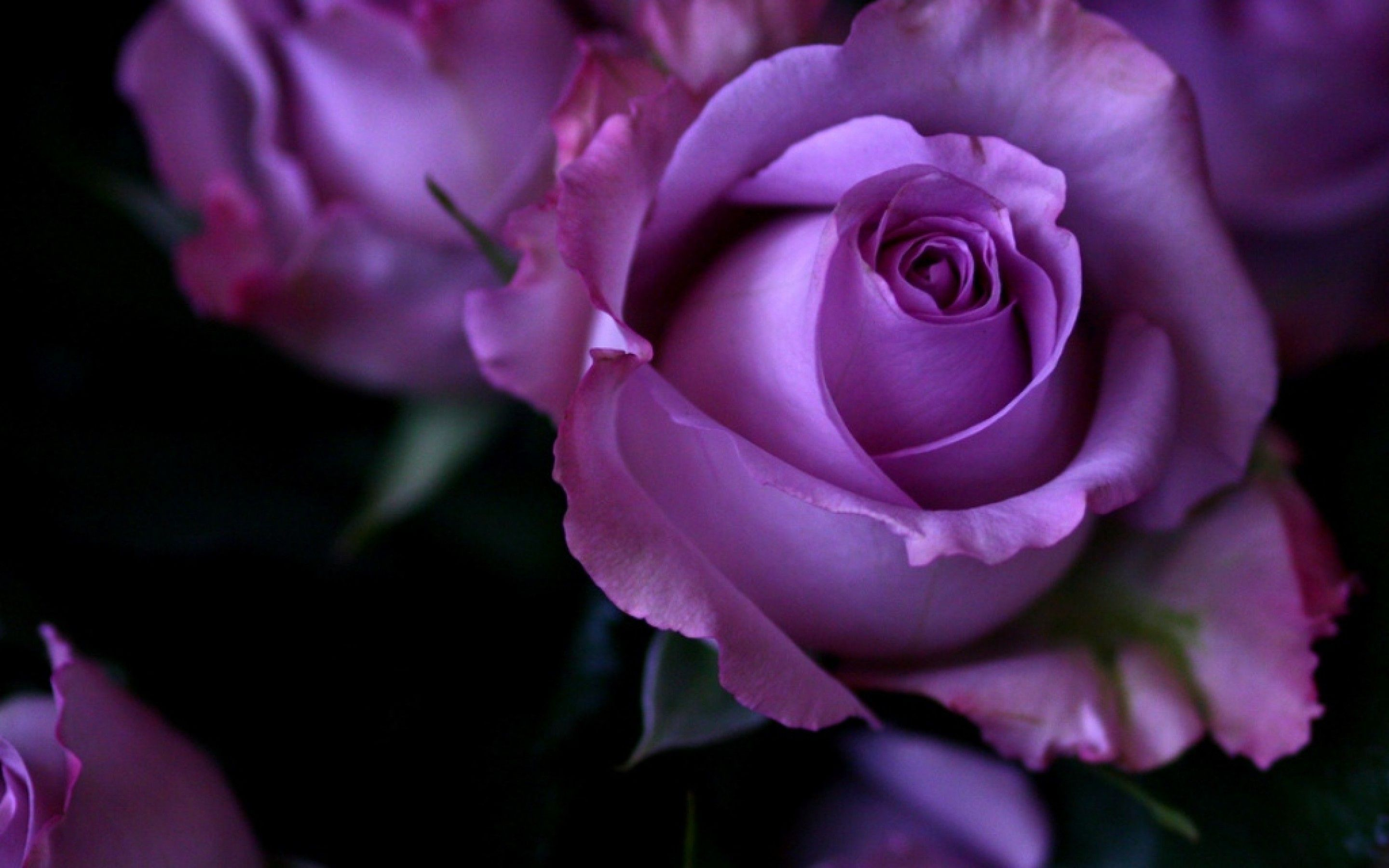 Purple Rose Wallpapers