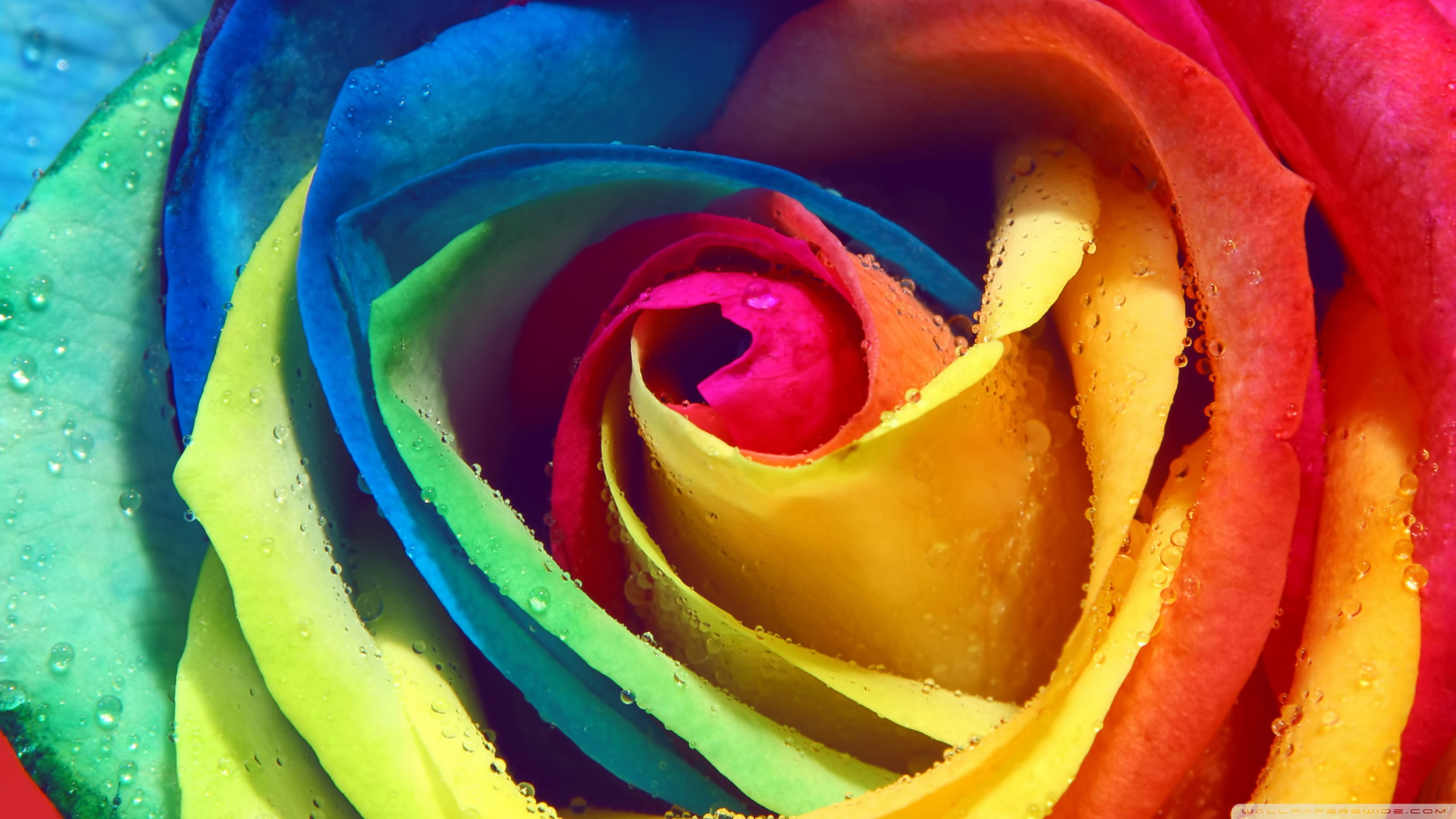 Rainbow Rose Wallpaper