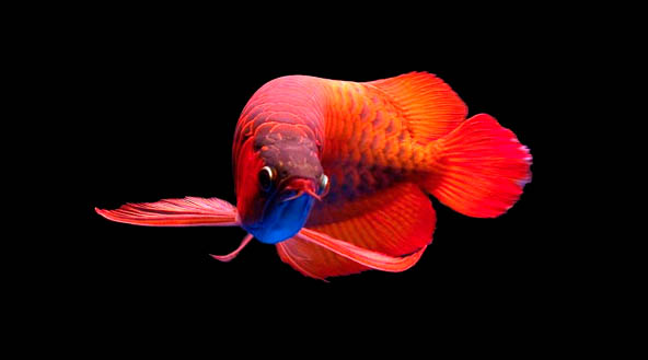 Red Arowana Wallpaper