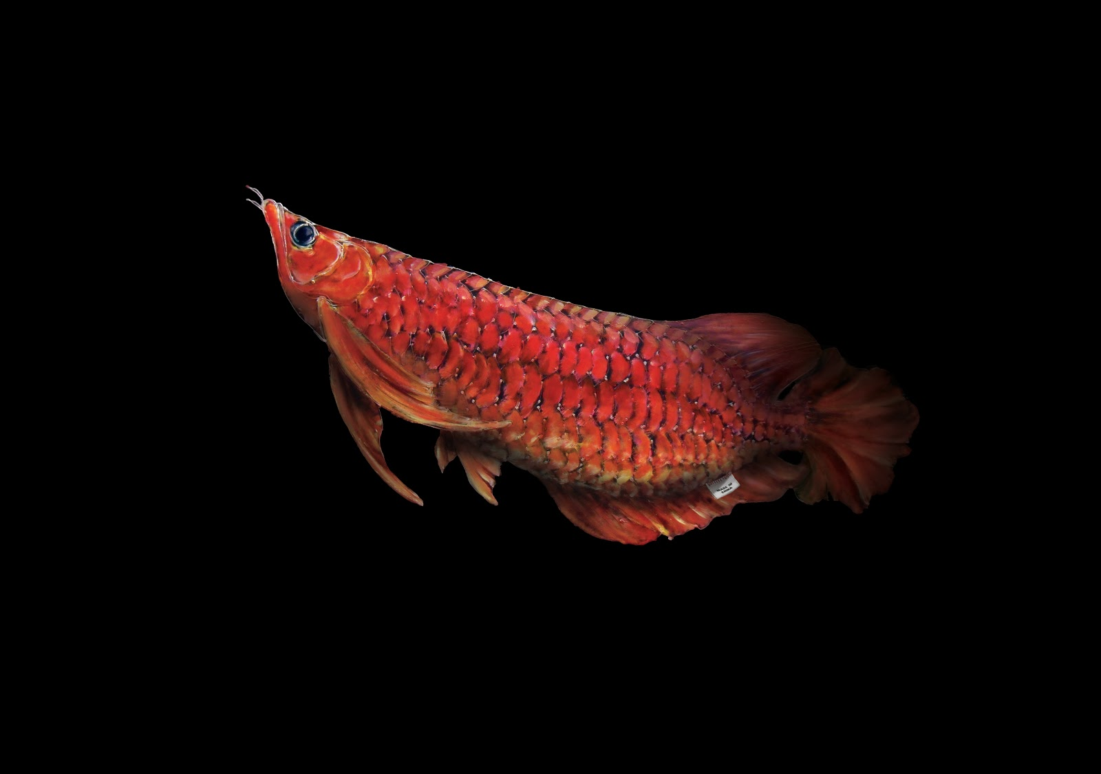 Download Red Arowana Wallpaper Gallery