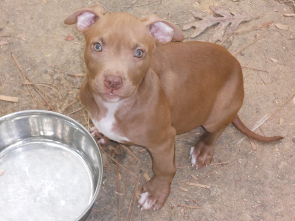 Download Red Nose Pitbull Wallpaper Gallery