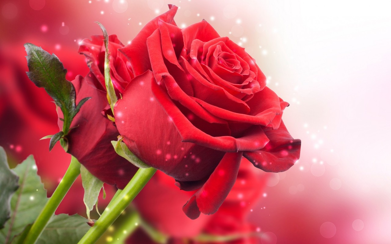 Red Rose Wallpaper Download Free