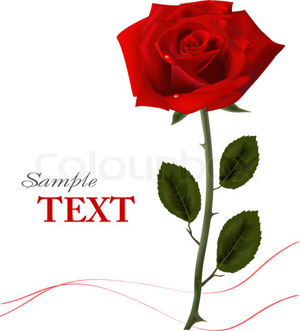 Red Rose Wallpaper With White Background