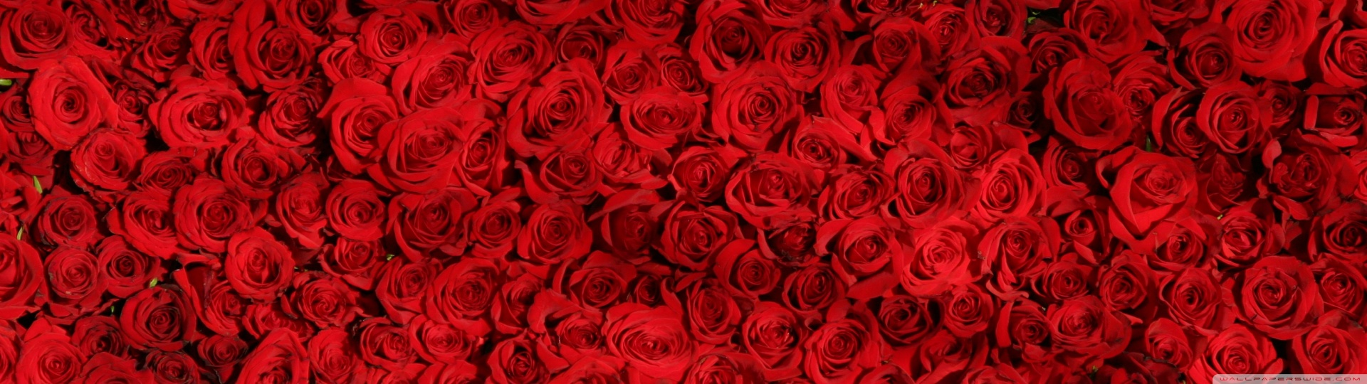 Red and white rose wallpaper designs