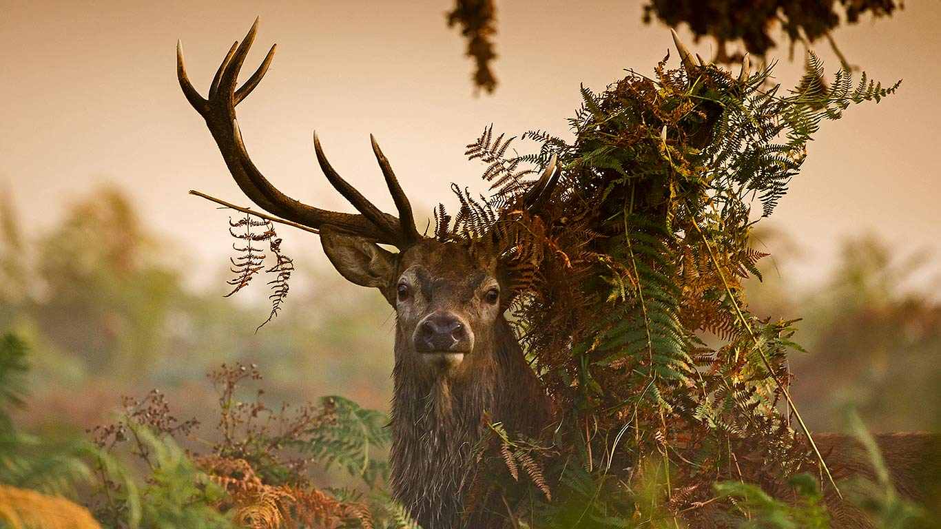 download red stag wallpaper gallery