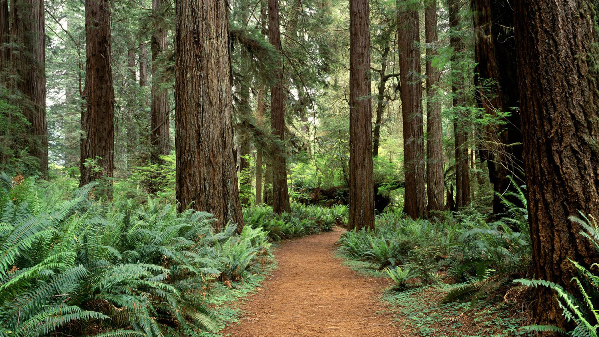 Redwood Forest Wallpaper