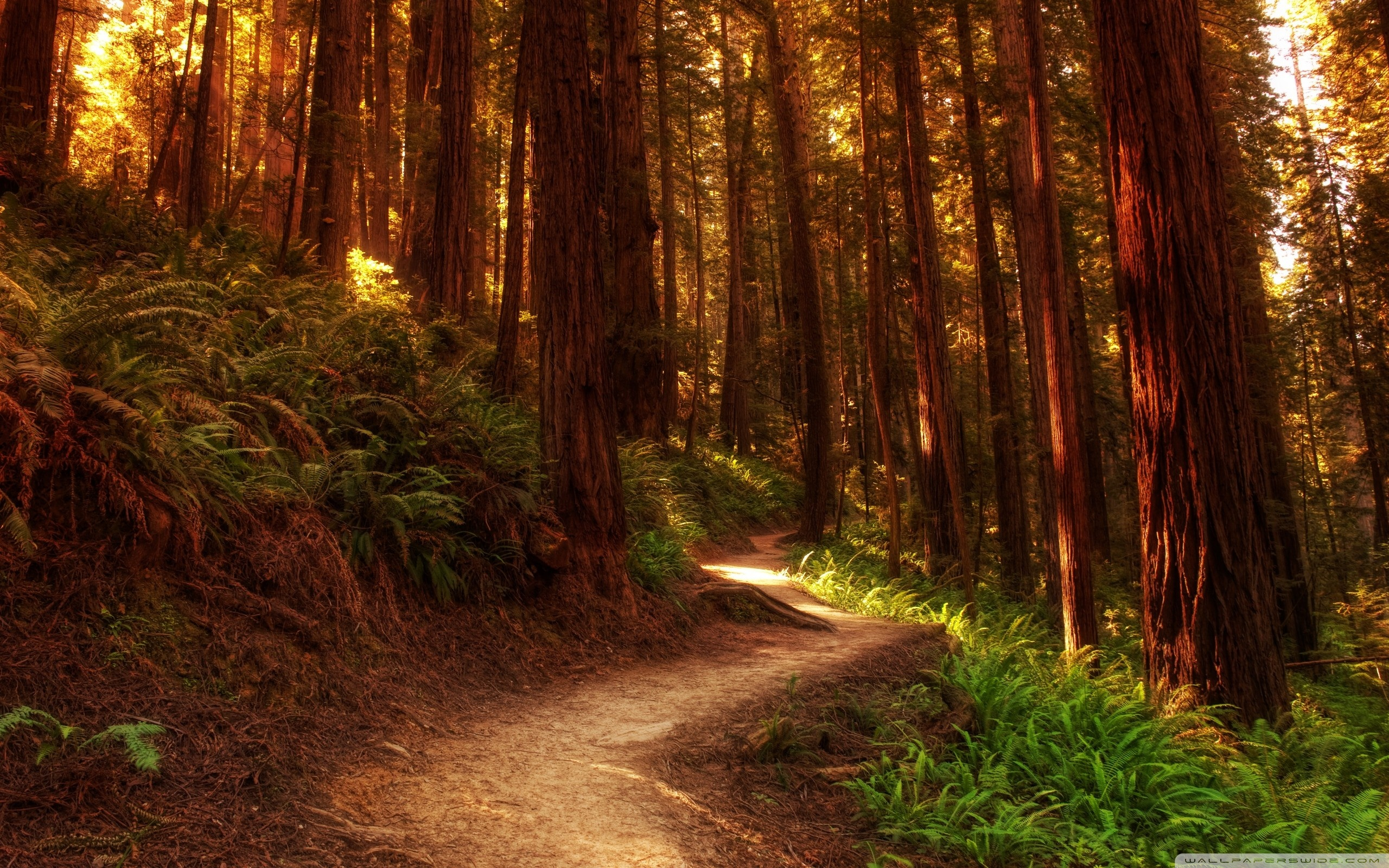 Redwood Trees Wallpaper