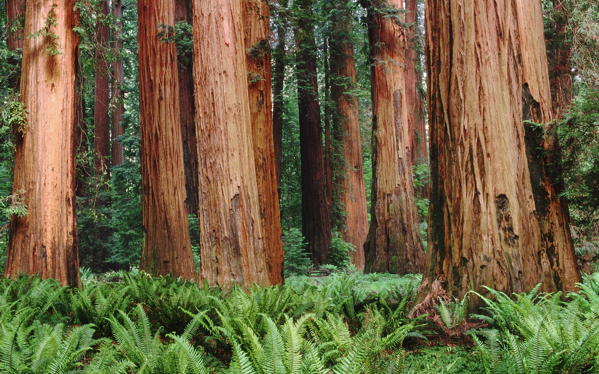Redwood Wallpaper