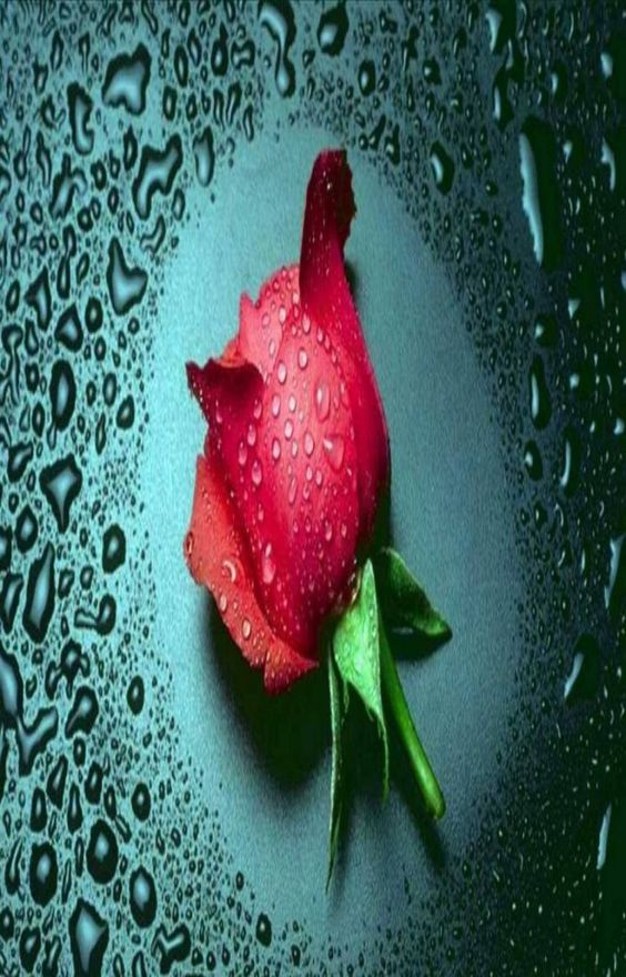 Rose Flowers Wallpapers Free Download For Mobiles