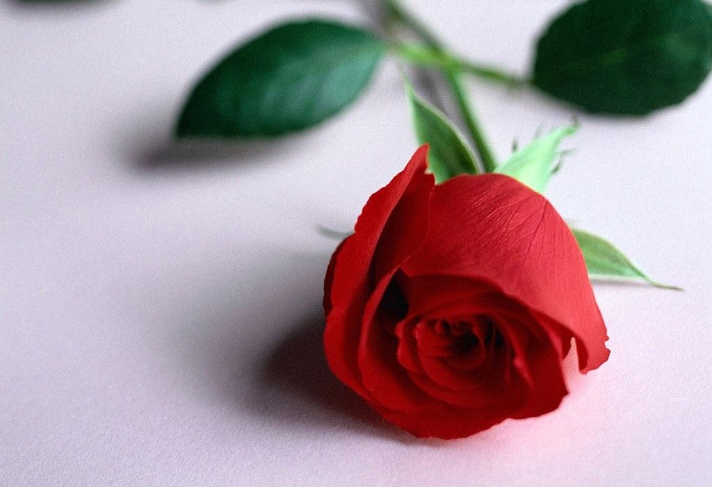 Rose HD Wallpaper Download