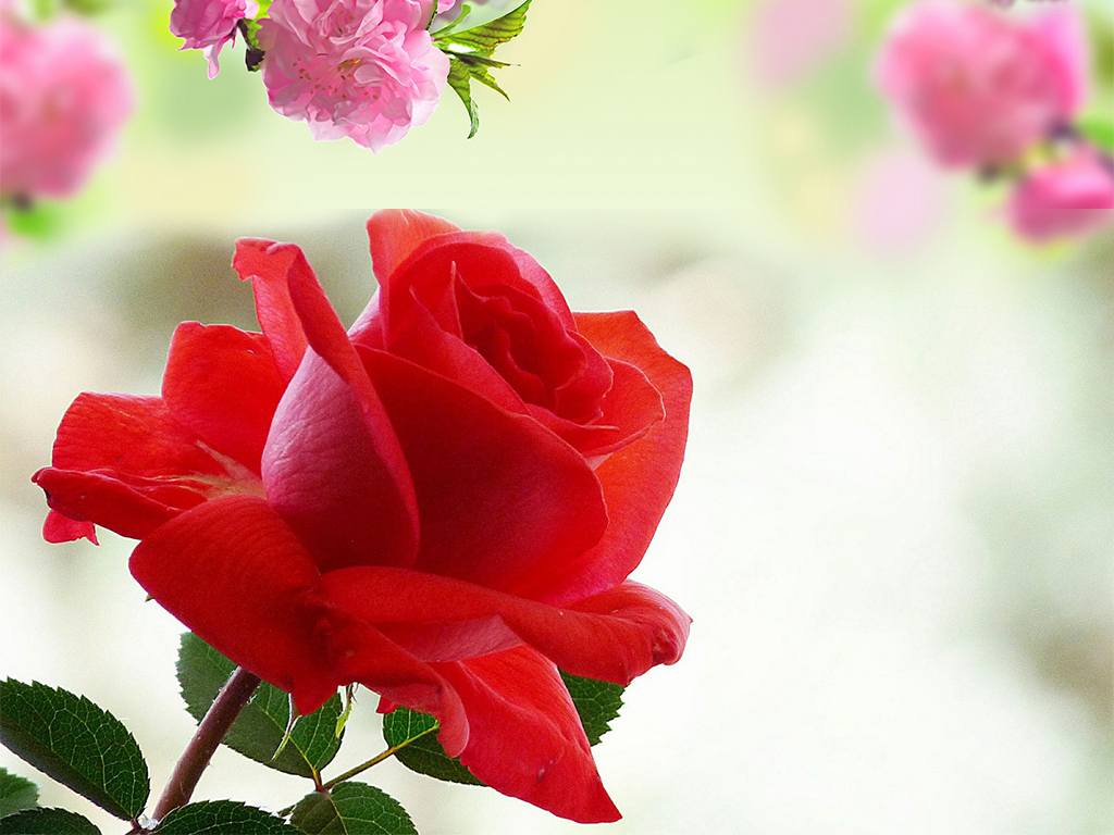 Rose HD Wallpaper Free Download