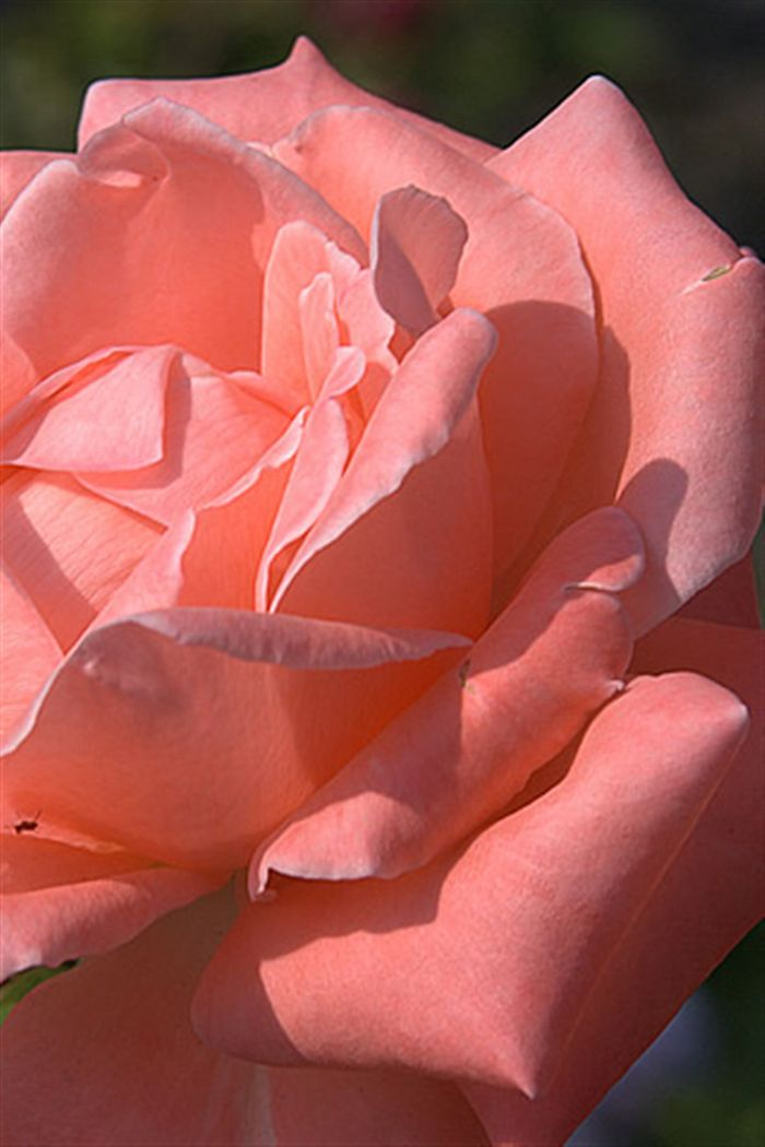 Rose Wallpaper For Iphone