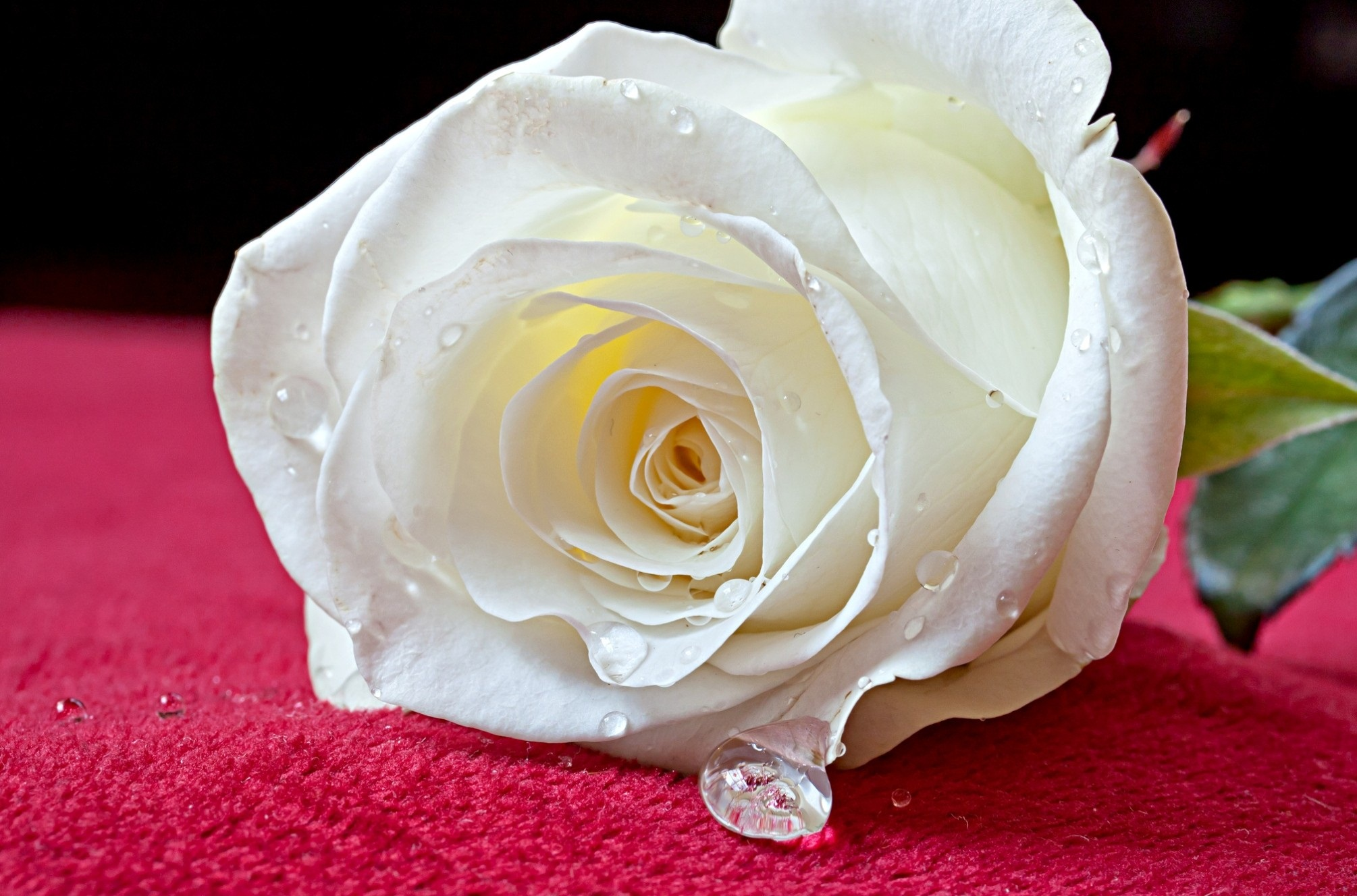 Rose White Wallpaper