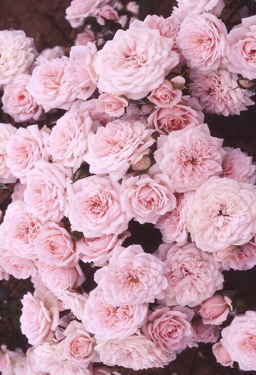 Roses Wallpaper For Iphone