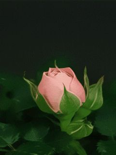 Roses Wallpapers Free Download For Mobile