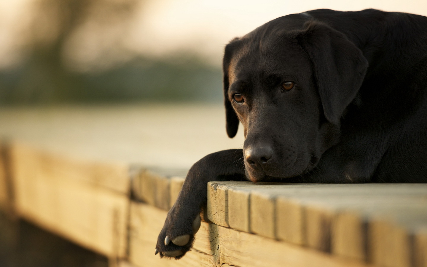 Sad Dog Wallpaper