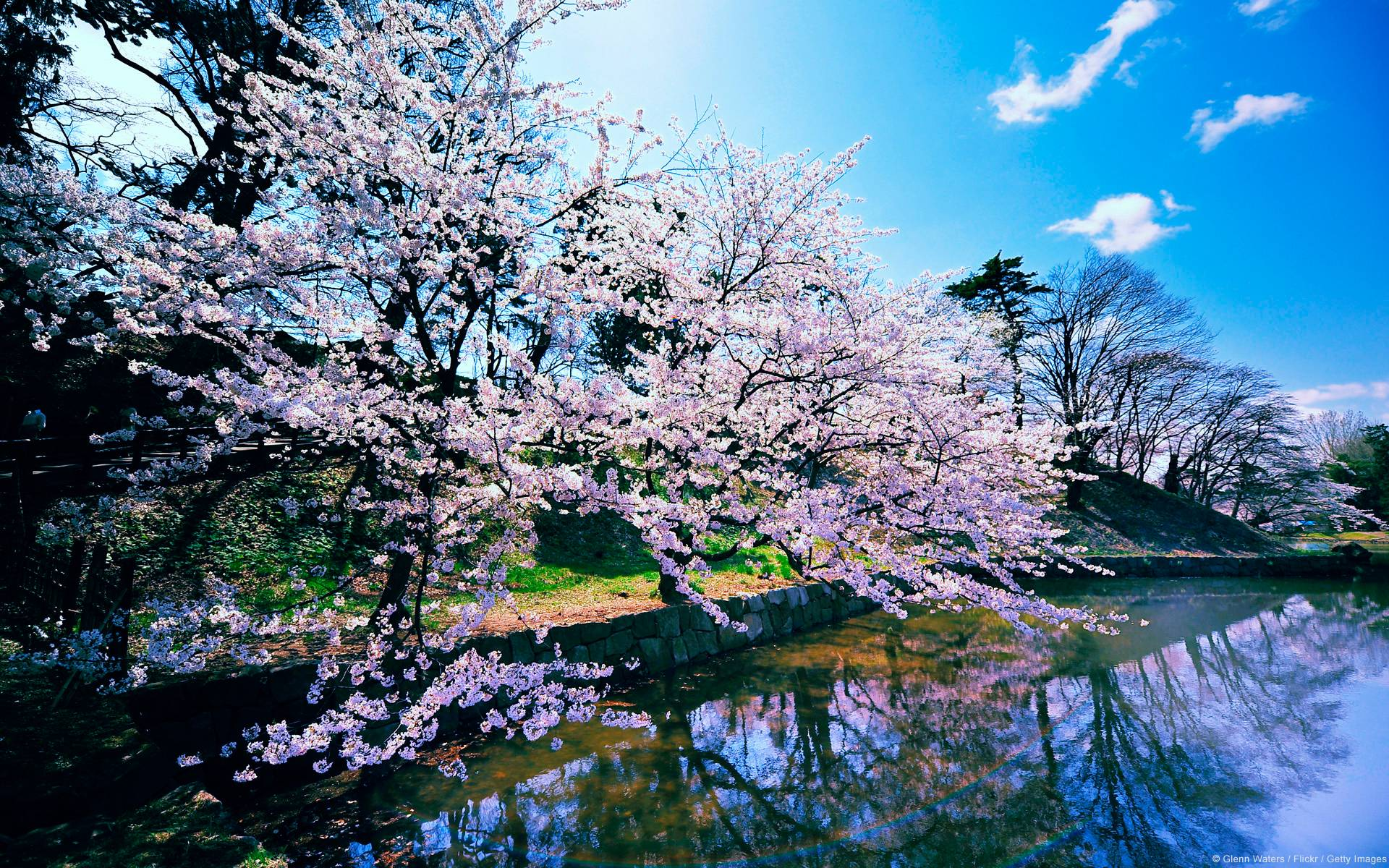 Sakura Trees Wallpaper