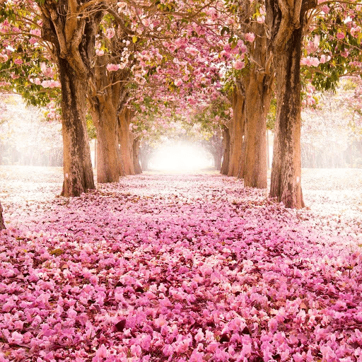 Sakura Wallpaper Free Download
