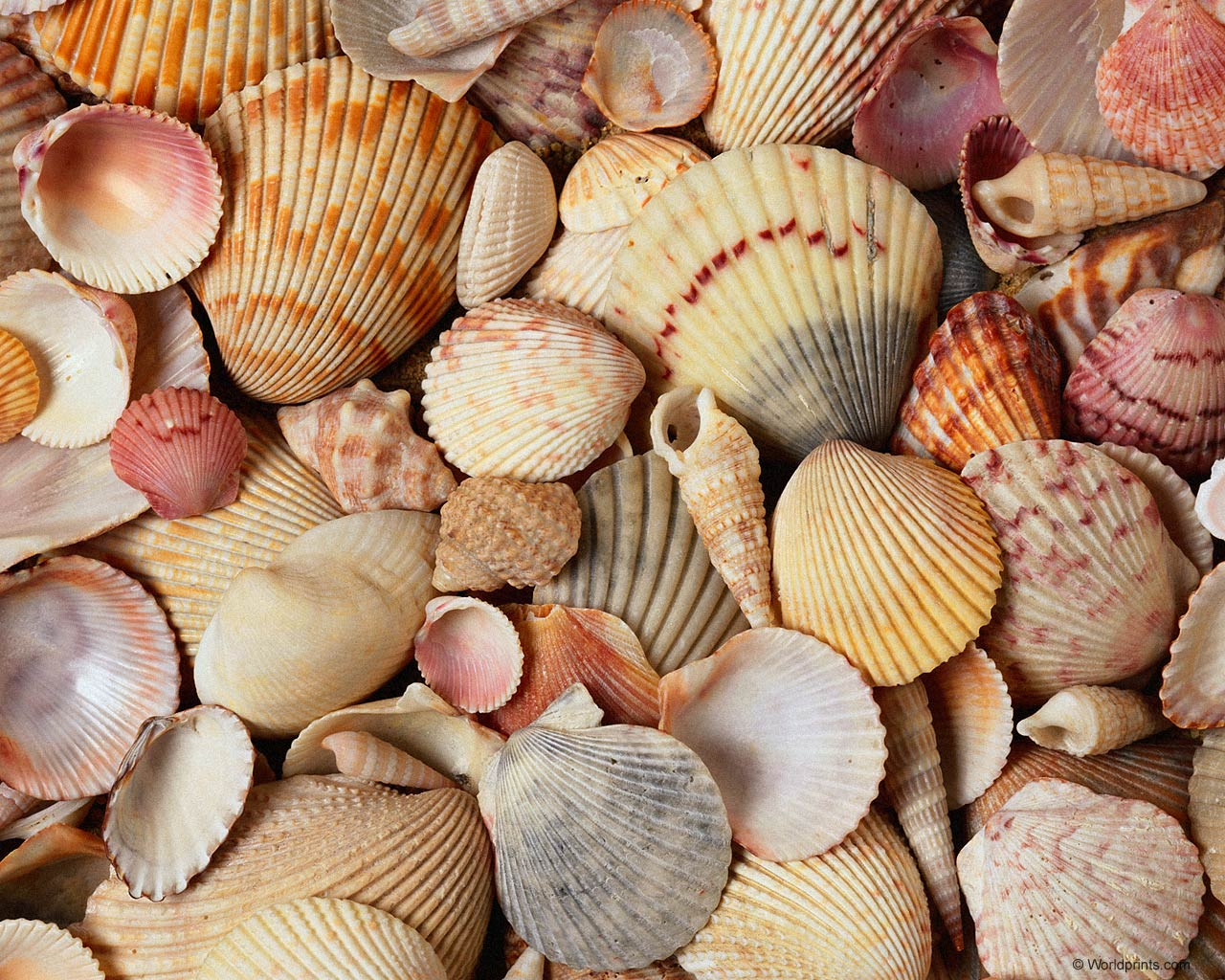 Shells Wallpapers