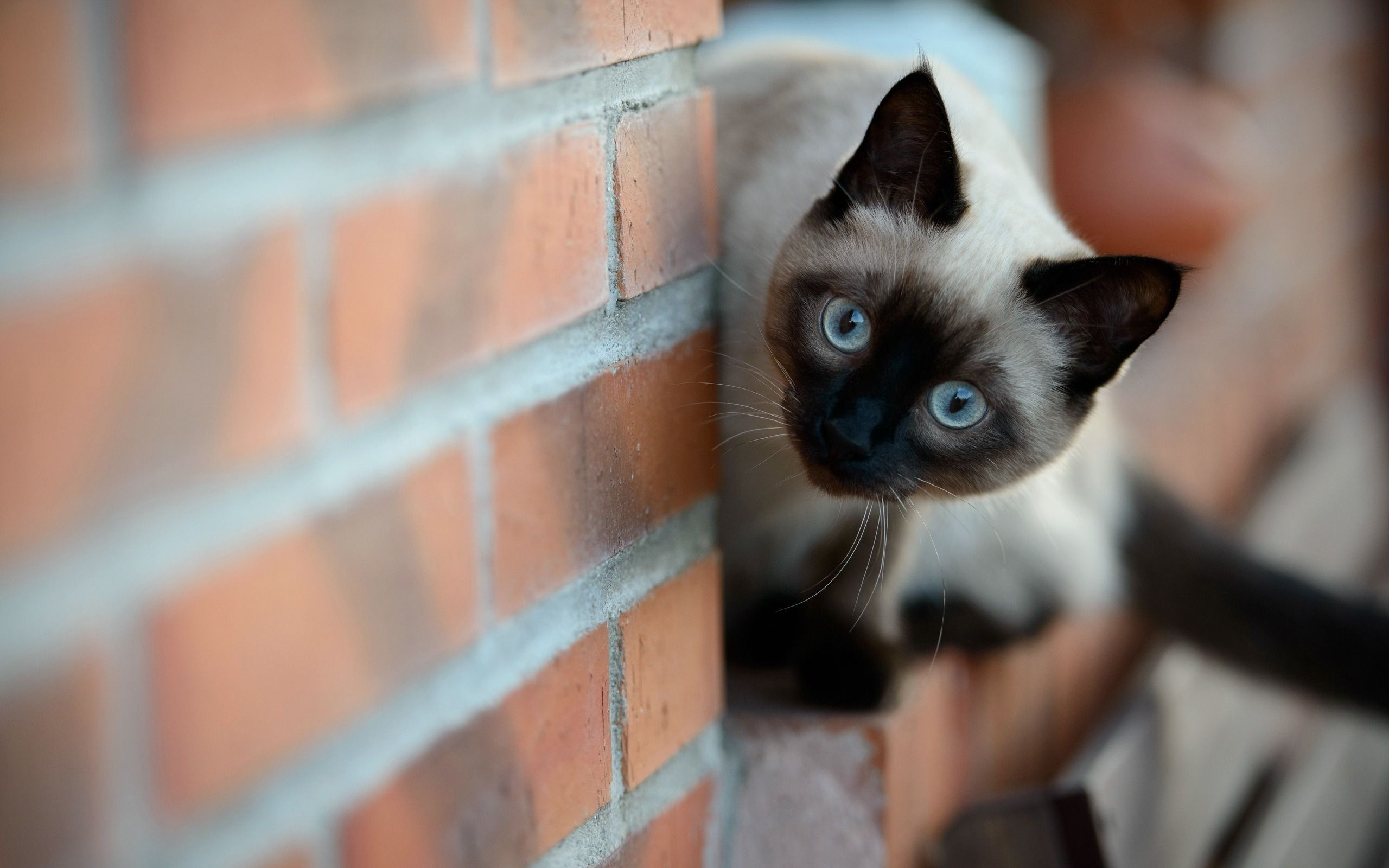 Siamese Cats Wallpaper