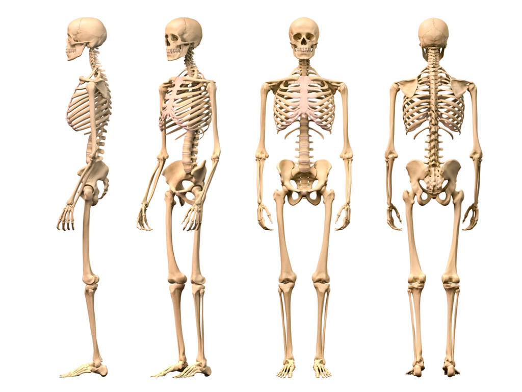 Skeletal System Wallpaper