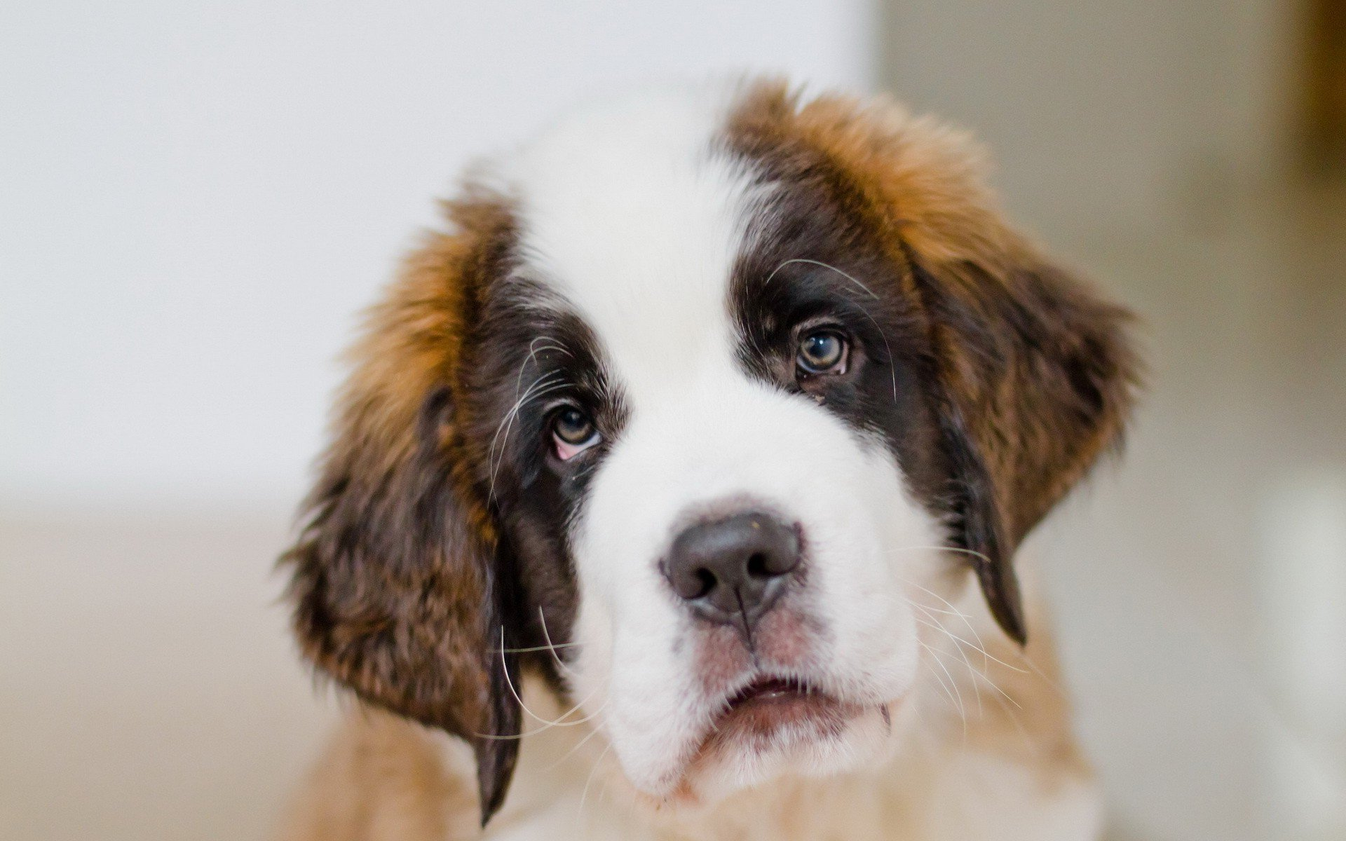 St. Bernard Wallpapers