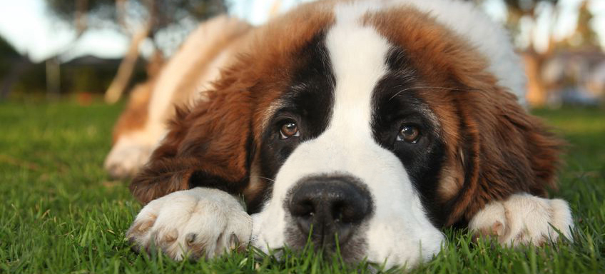 Download St. Bernard Wallpapers Gallery