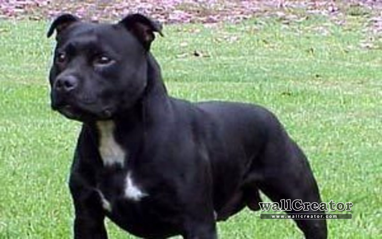 Staffy Pictures Wallpapers