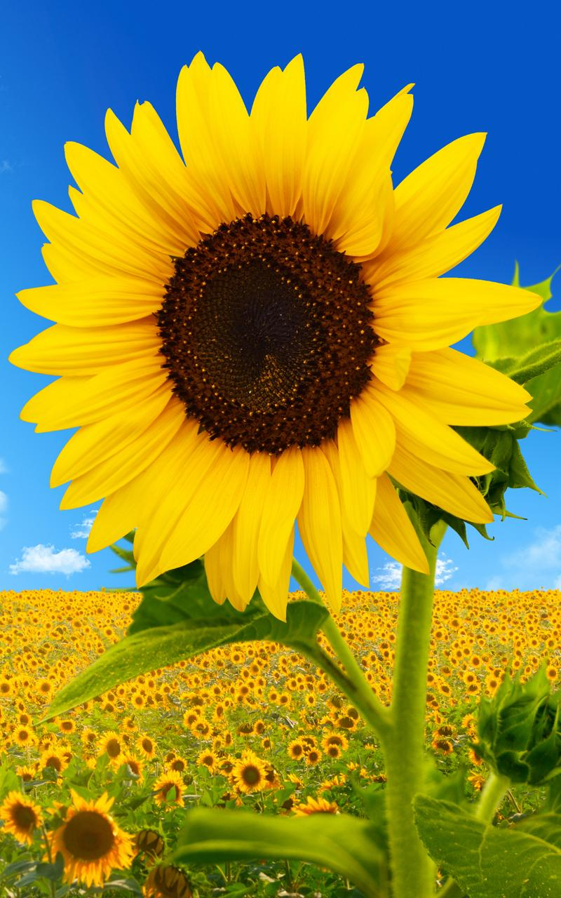 Sunflower Live Wallpaper
