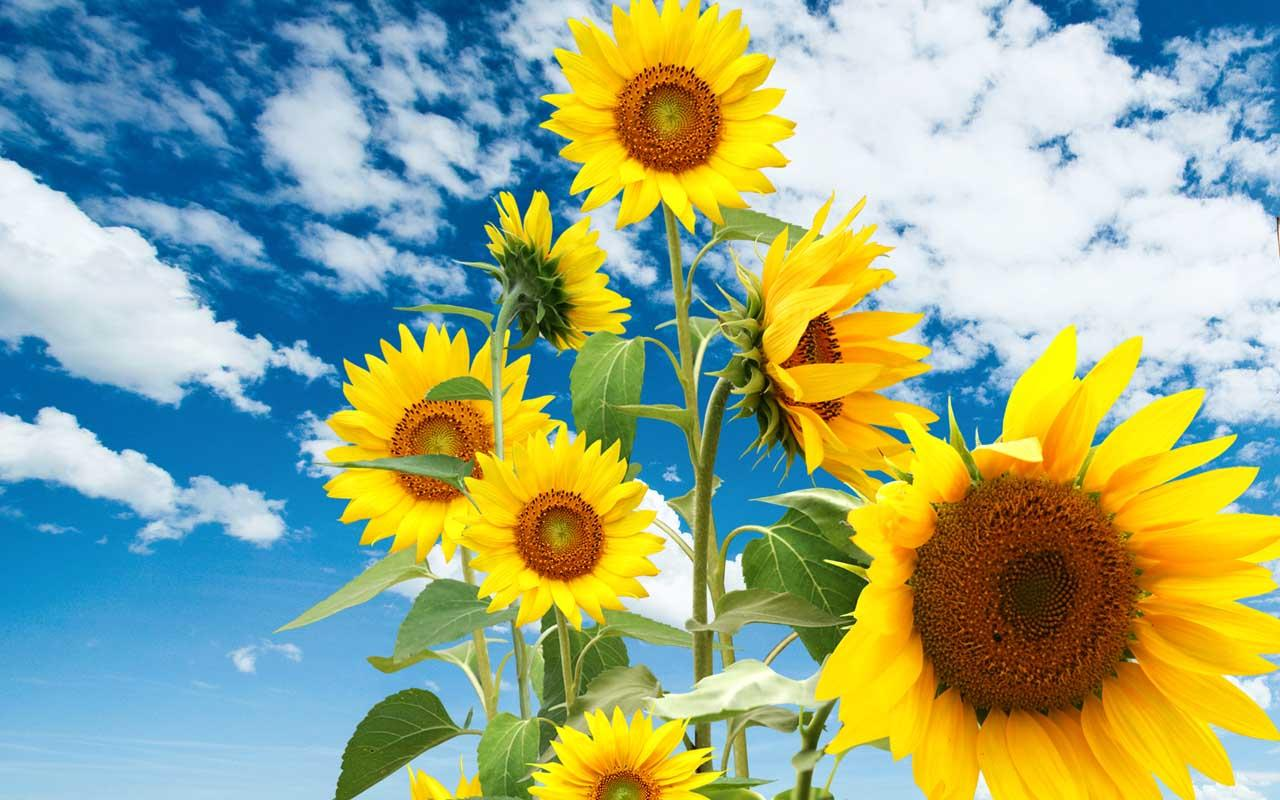Download Sunflower Live Wallpaper Gallery