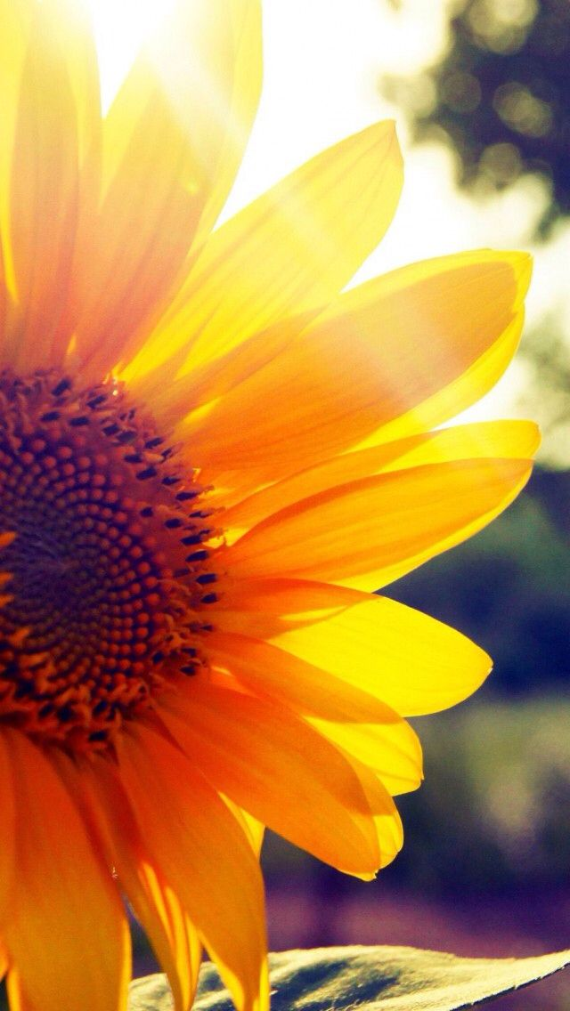 Sunflower Mobile Wallpaper