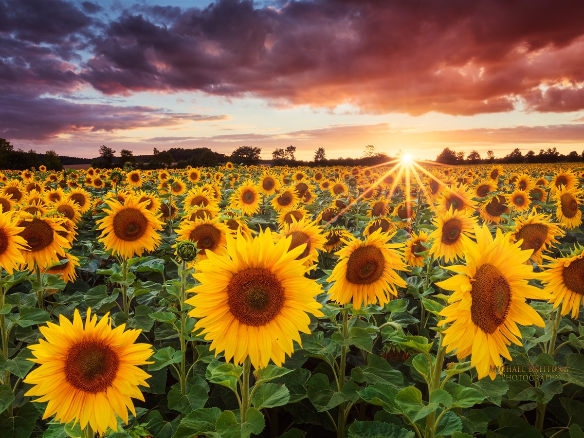 Sunflowers Wallpaper