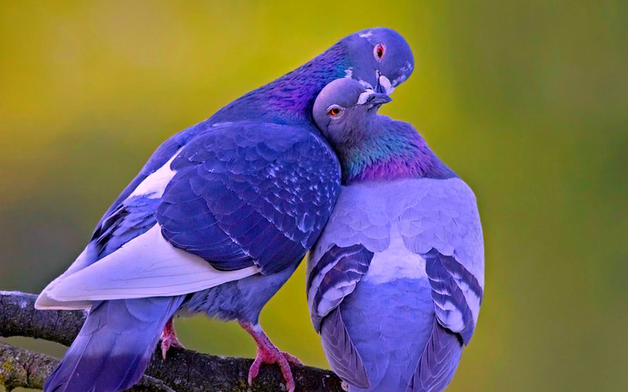 Sweet Love Birds Wallpapers