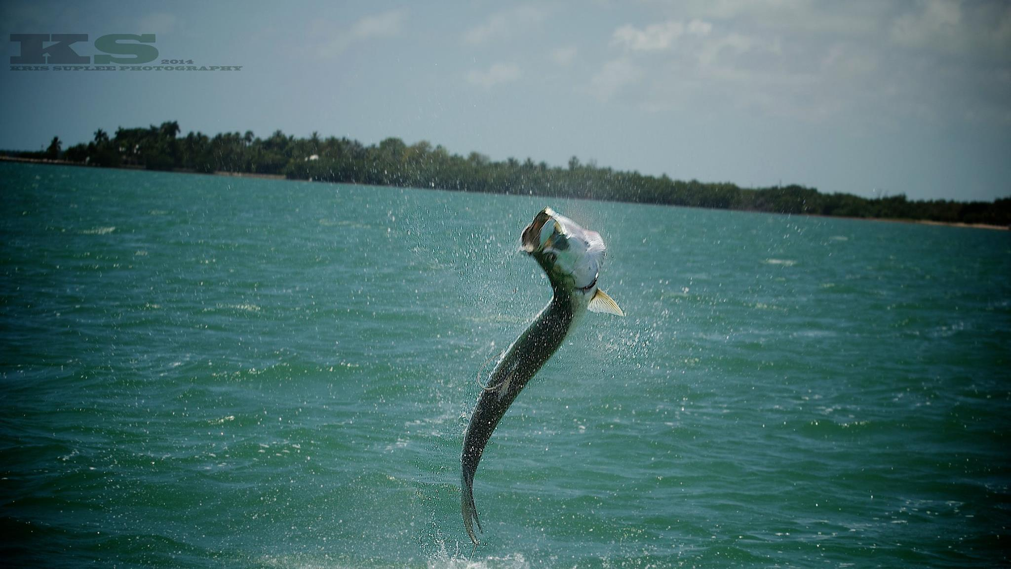 Tarpon Wallpaper