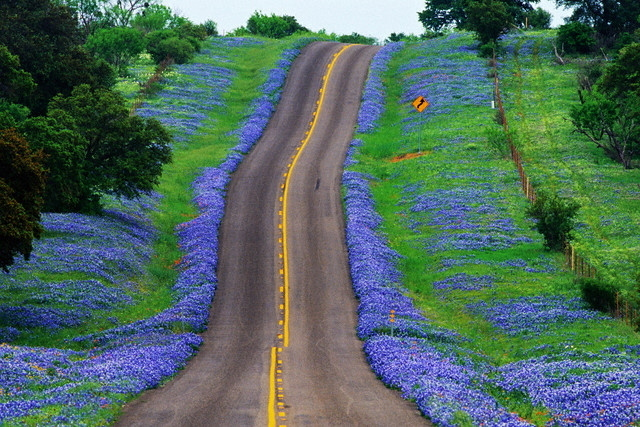 Texas Bluebonnet Wallpaper