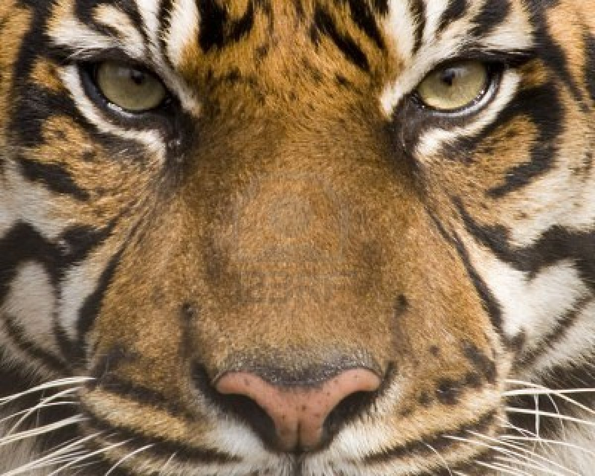 Download Tiger Face HD Wallpaper Gallery