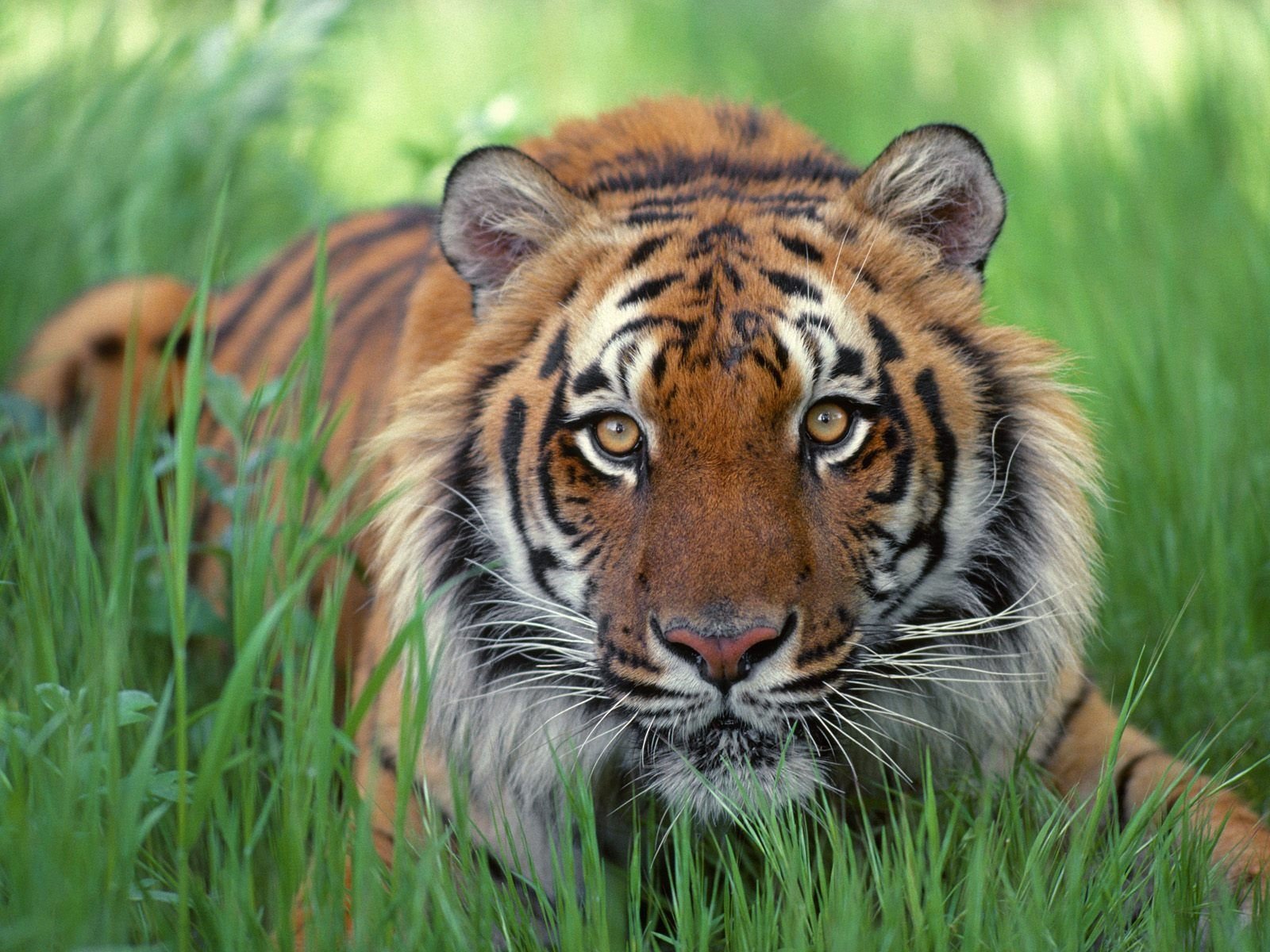 Tiger Free Wallpaper