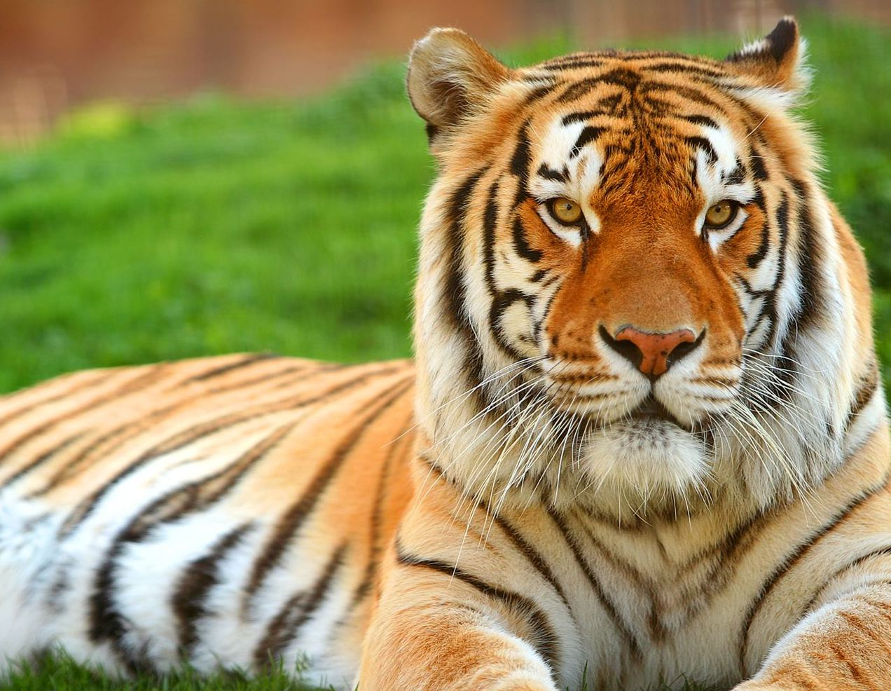Tiger HD Wallpaper Download