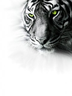 Tiger HD Wallpaper For Mobile