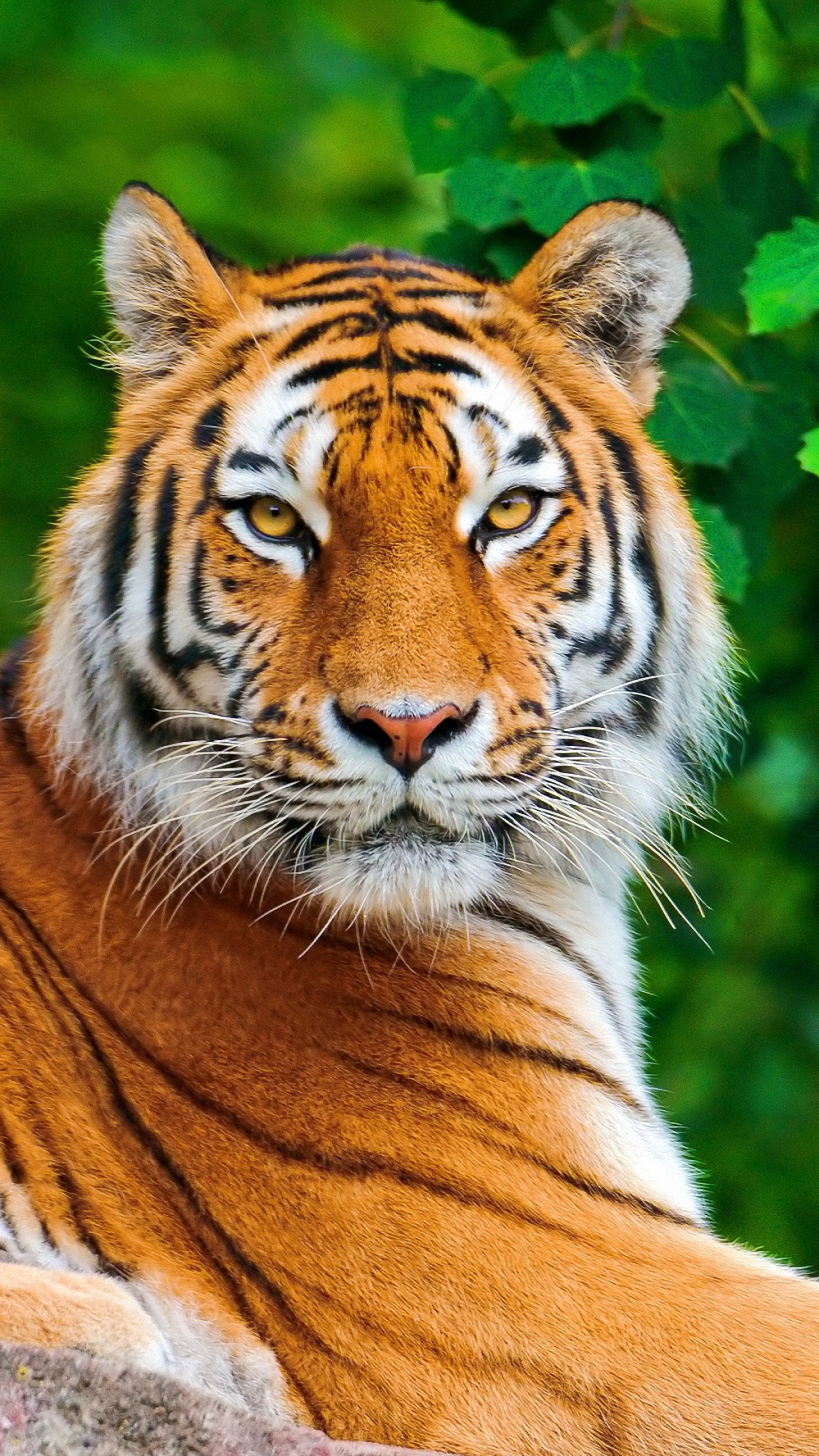 Wallpaper Gallery Tiger Mobile HD Download For