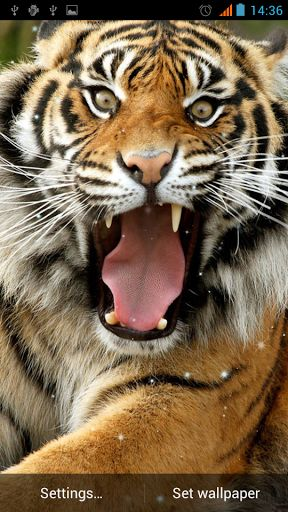 Tiger Live Wallpaper For Android