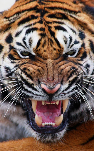 Tiger Live Wallpaper Free Download