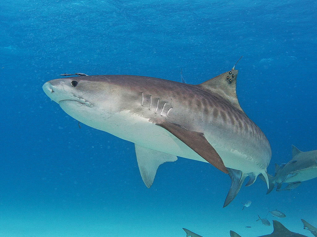 tiger shark The tiger shark is one of the largest sharks in the world the tiger shark is found in many of the tropical and temperate regions of the worlds oceans and is especially common around islands in the central pacific.