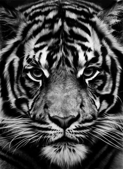 Tiger Wallpaper Android